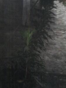 Pohon Suji